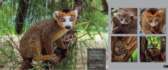 A gauche et en haut : le lémurien couronné ou «lemur coronatus» a une couleur contrastante avec une sorte de couronne sur ...