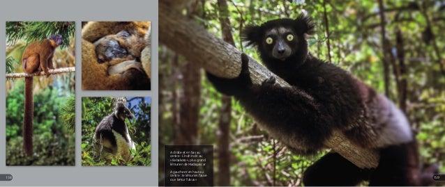 A droite et en bas au centre : L'Indri Indri ou « Babakoto », plus grand lémurien de Madagascar A gauche et en haut au cen...