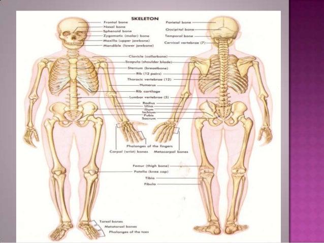 SkullBackboneThe rib-cageThe limbs