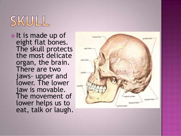  The backbone isconnected to theskull. It is made upof thirty-threesmall bones. Itprotects our spinalcord. These smallbon...