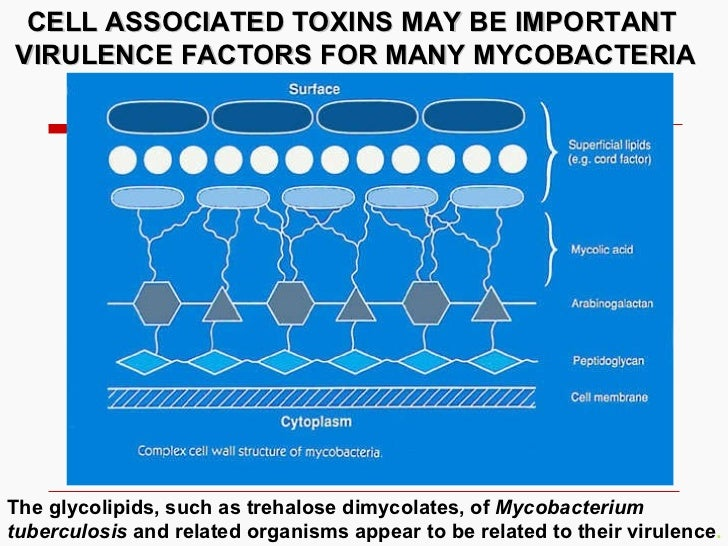 CELL ASSOCIATED TOXINS MAY BE IMPORTANT VIRULENCE FACTORS FOR MANY MYCOBACTERIA The glycolipids, such as trehalose dimycol...