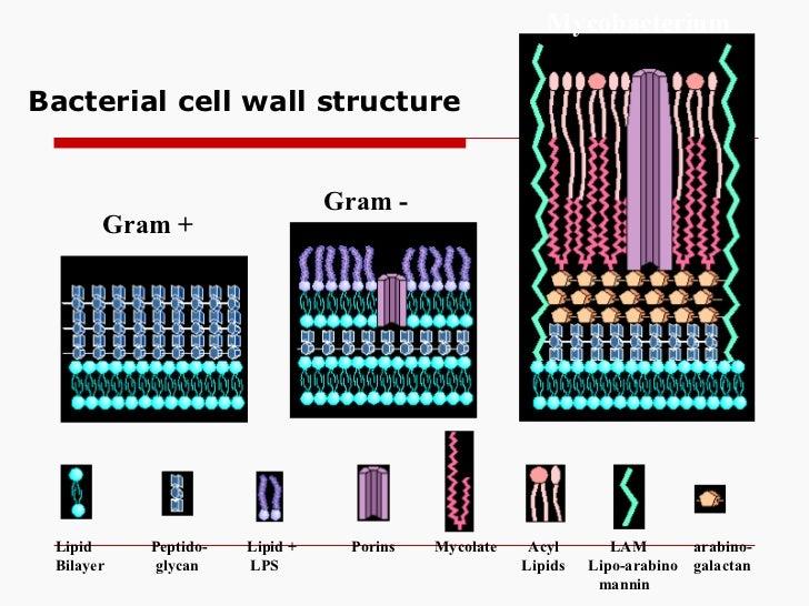 Bacterial cell wall structure Gram + Gram - Mycobacterium Lipid  Peptido-  Lipid +  Porins  Mycolate  Acyl  LAM  arabino- ...