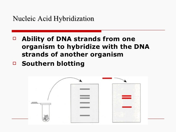 Nucleic Acid Hybridization <ul><li>Ability of DNA strands from one organism to hybridize with the DNA strands of another o...
