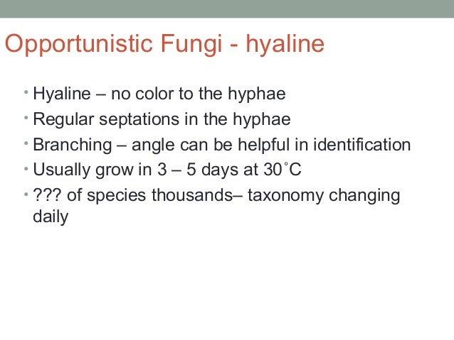Opportunistic Fungi - hyaline • Hyaline – no color to the hyphae • Regular septations in the hyphae • Branching – angle ca...
