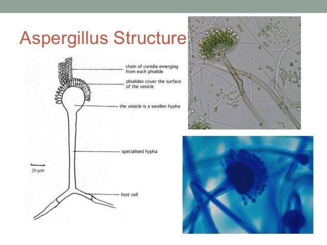Aspergillus Structure