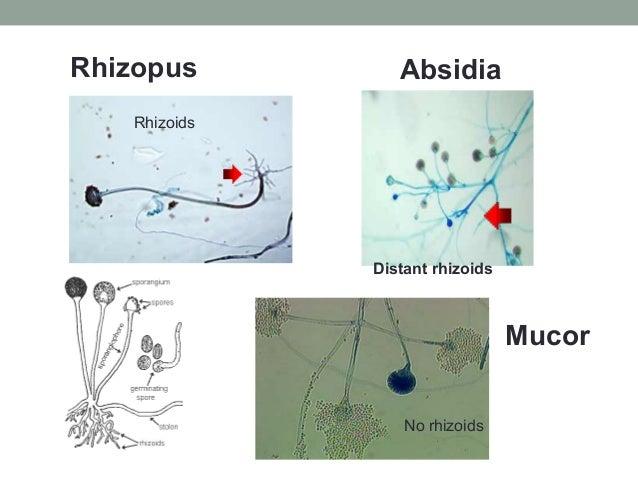 Rhizopus Absidia Distant rhizoids Mucor No rhizoids Rhizoids