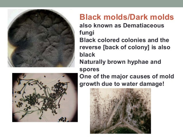 Black molds/Dark molds also known as Dematiaceous fungi Black colored colonies and the reverse [back of colony] is also bl...