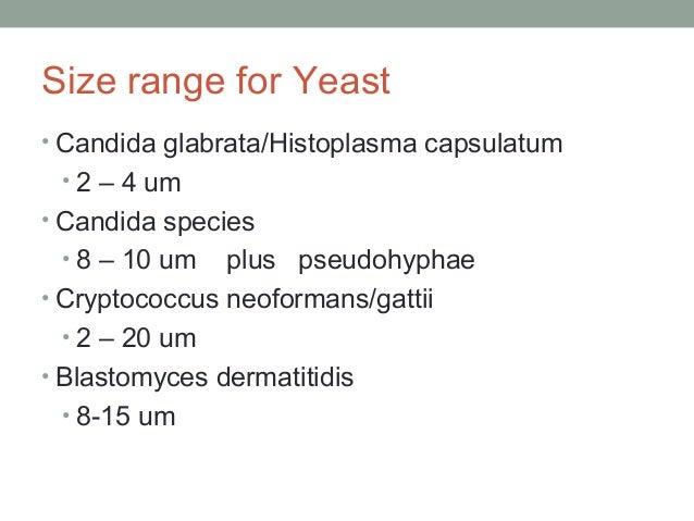 Size range for Yeast • Candida glabrata/Histoplasma capsulatum • 2 – 4 um • Candida species • 8 – 10 um plus pseudohyphae ...