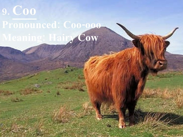 9.  Coo Pronounced: Coo-ooo Meaning: Hairy Cow