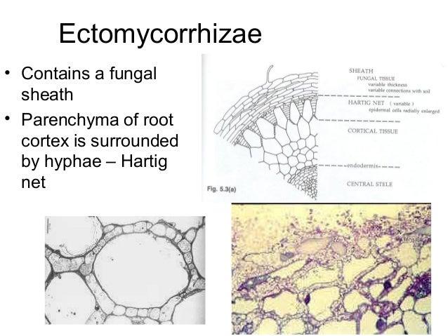 mycorrhizae slideshare