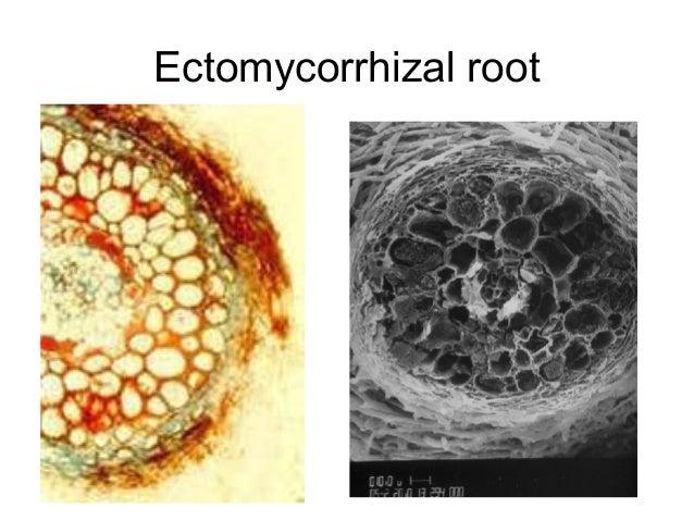 endomycorrhizal slide - photo #4