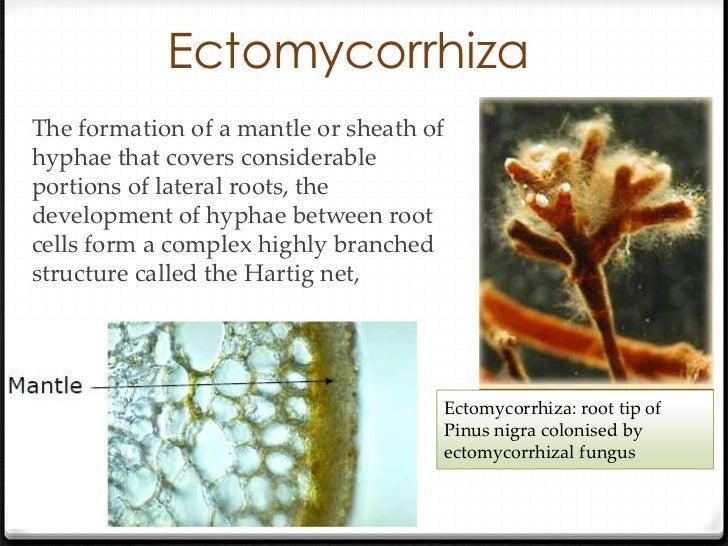 endomycorrhizal slide - photo #15