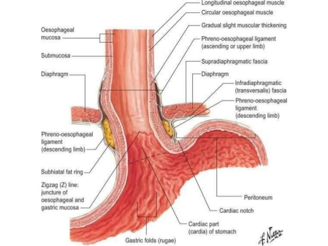 Esophagus Anatomy Diagram - Schematics Wiring Diagrams •