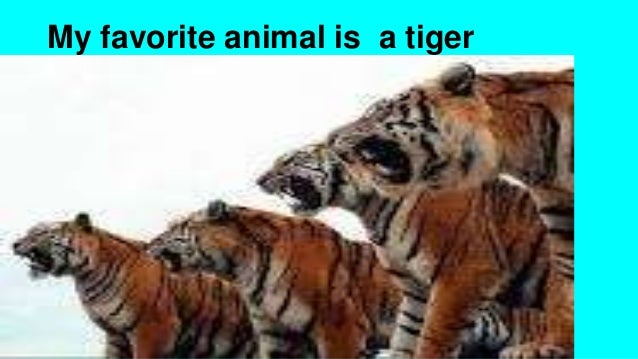 My favorite animal is a tiger