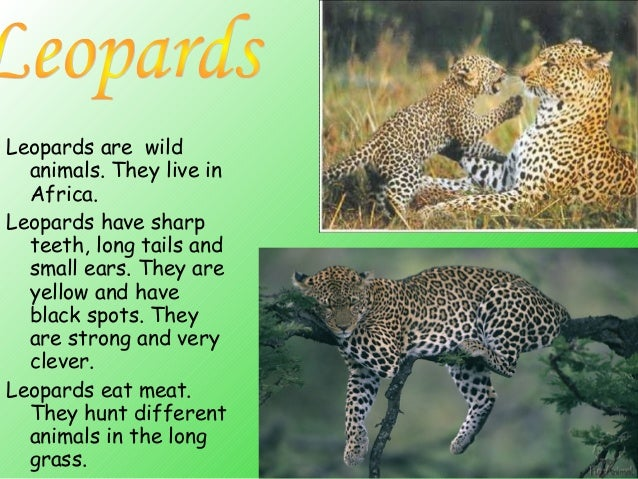 essay about leopard