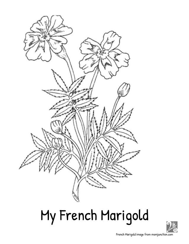 my french marigold story seed saving lesson minibooks coloring sheet garden sign and plant labels 13 638