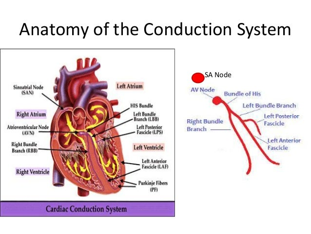 Myocardial Action Potential And Basis Of Arrythmogenesis on Cardiac Conduction System Diagram