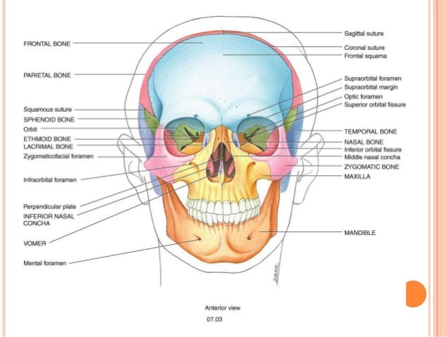 Diagram of neck bones and skull wiring library osteology of head and neck rh slideshare net neck skeleton diagram neck skeleton diagram ccuart Images