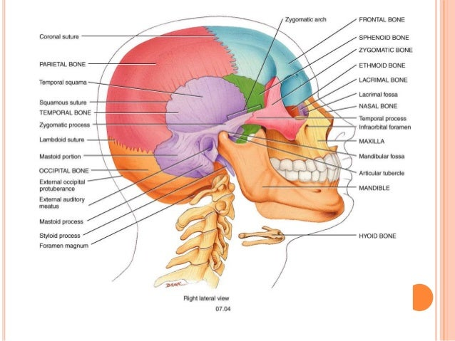 Osteology Of Head And Neck