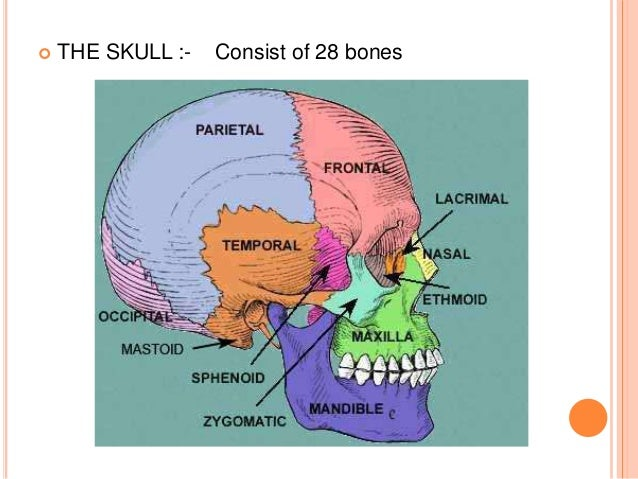 osteology of head and neck, Human Body
