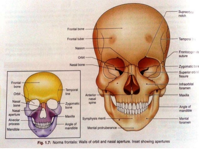 Osteology Of Facial Skeleton