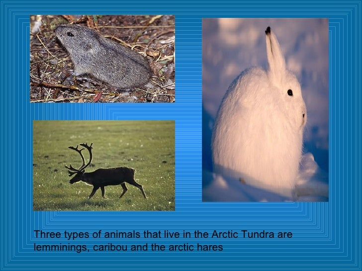 biomes essay Tundra is the coldest of all the biomes tundra comes from the finnish word tunturia, meaning treeless plain it is noted for its frost-molded landscapes, extremely low temperatures, little precipitation, poor nutrients, and short growing seasons dead organic material functions as a nutrient pool.