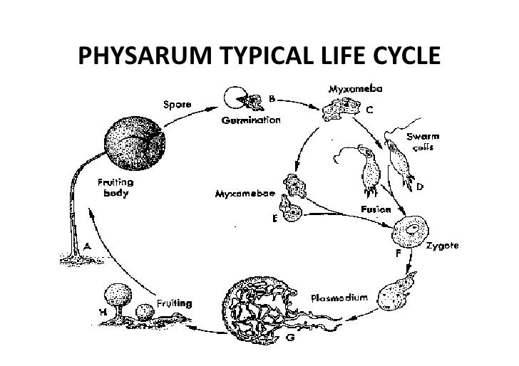 the life cycle of physarum polycephalum Physarum polycephalum, a true slime mold, is a lower eukaryote with a unique  life cycle that consists of plasmodium, spore, amoeba, and sclerotium stages.