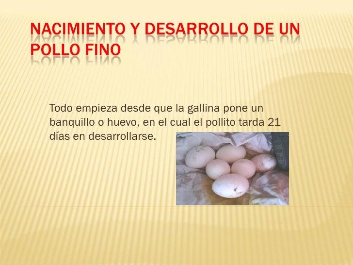 NACIMIENTO Y DESARROLLO DE UN POLLO FINO     Todo empieza desde que la gallina pone un   banquillo o huevo, en el cual el ...