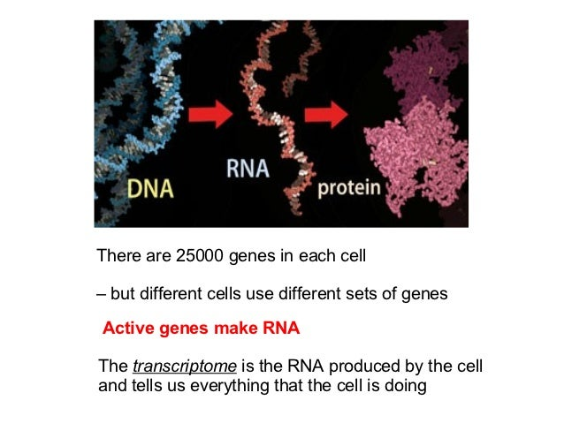 There are 25000 genes in each cell– but different cells use different sets of genesActive genes make RNAThe transcriptome ...