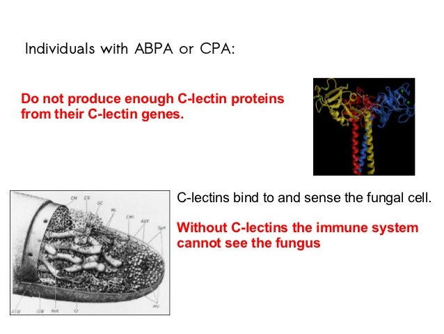 Individuals with ABPA or CPA:Do not produce enough C-lectin proteinsfrom their C-lectin genes.                       C-lec...