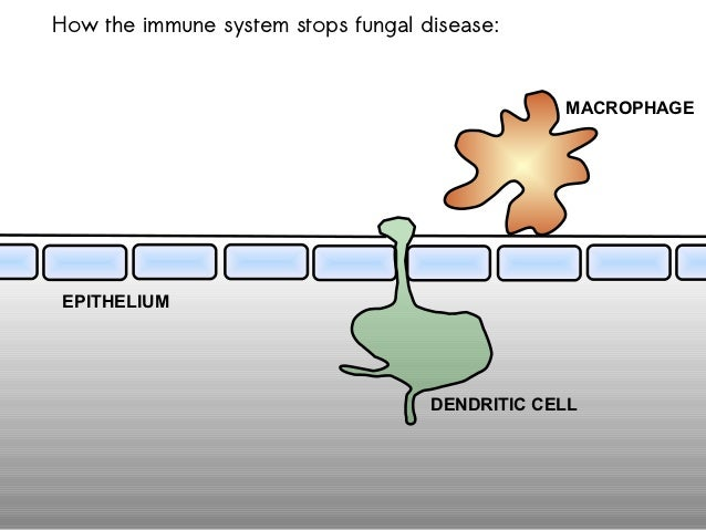 How the immune system stops fungal disease:                                                MACROPHAGEEPITHELIUM           ...