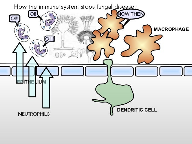 How the immune system stops fungal disease:       OI!                           NOW THENOI!!                              ...