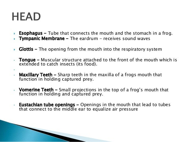 Frog Mouth Diagram And Functions - Product Wiring Diagrams •