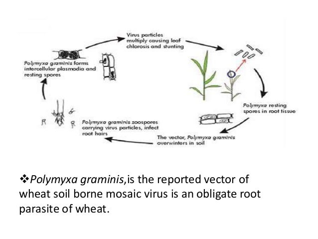 Diseases of wheat for Soil borne diseases