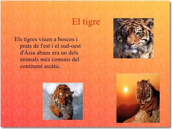 El tigre <ul><li>Els tigres viuen a boscos i prats de l'est i el sud-oest d'Àsia abans era un dels animals més comuns del ...