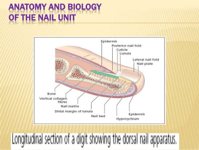 Normal Human Nail Diagram Auto Electrical Wiring Diagram