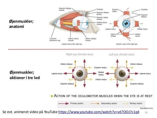 14  Øjenmuskler;  anatomi  Øjenmuskler;  aktioner i tre led  Se evt. animeret video på YouTube https://www.youtube.com/wat...