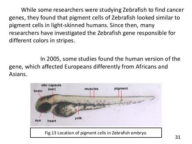 Zebrafish As A Model Organism