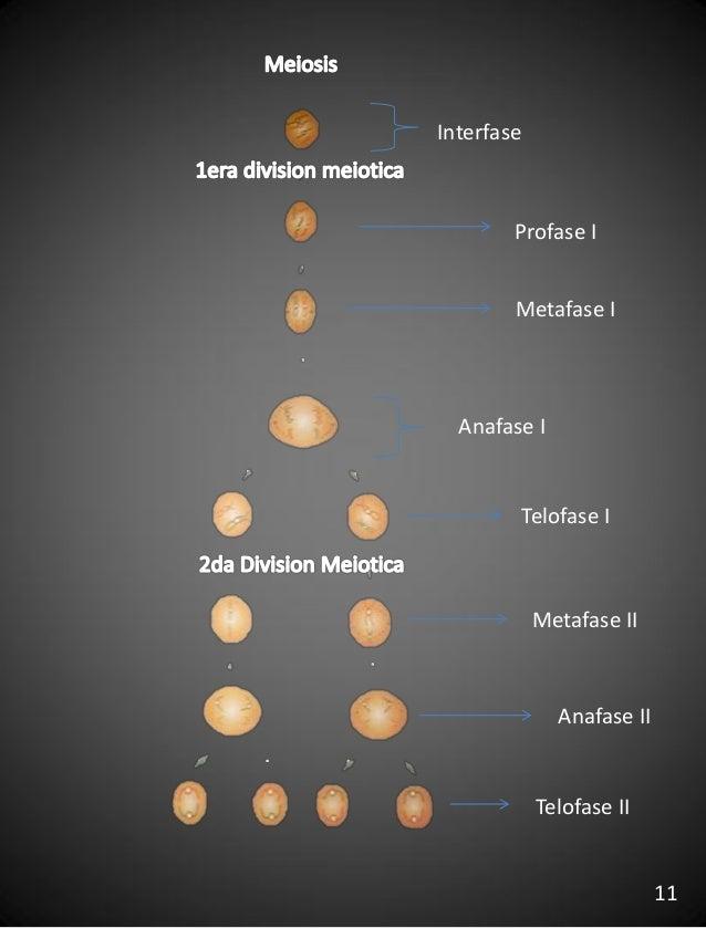 Interfase Profase I Metafase I Anafase I Metafase II Anafase II Telofase II Telofase I 11