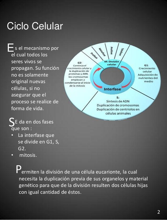 Ciclo Celular s el mecanismo por el cual todos los seres vivos se propagan. Su función no es solamente original nuevas cél...