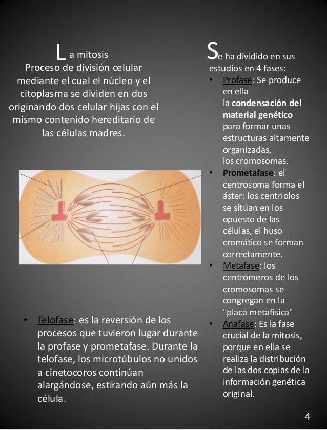 a mitosis Proceso de división celular mediante el cual el núcleo y el citoplasma se dividen en dos originando dos celular ...
