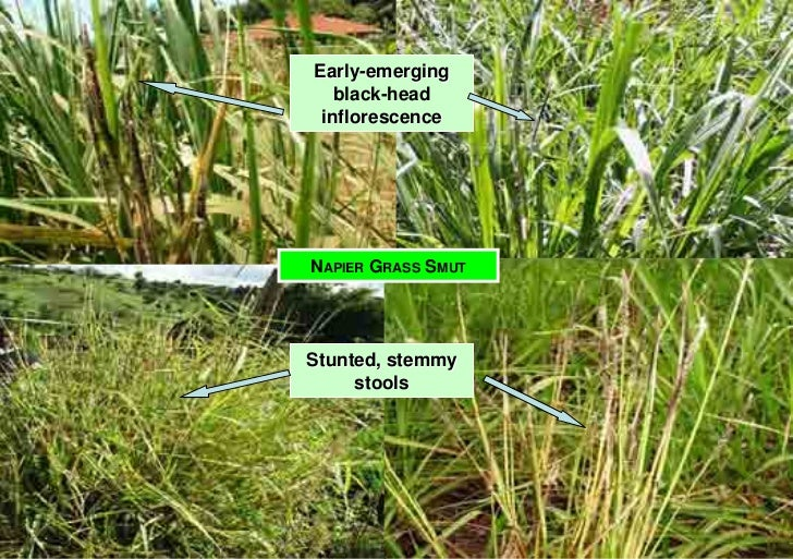 Early-emerging    black-head  inflorescence     NAPIER GRASS SMUT     Stunted, stemmy      stools
