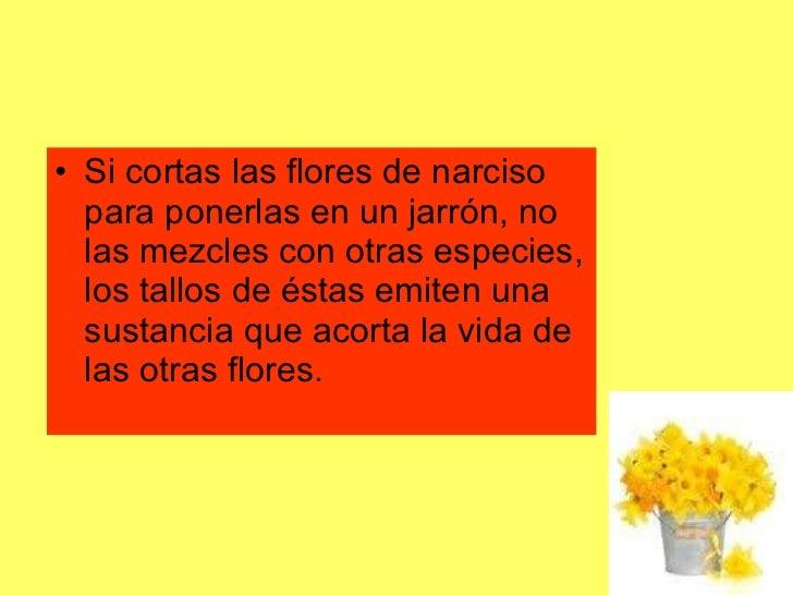 <ul><li>Si cortas las flores de narciso para ponerlas en un jarrón, no las mezcles con otras especies, los tallos de éstas...