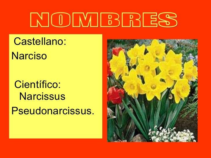 <ul><li>Castellano: </li></ul><ul><li>Narciso </li></ul><ul><li>Científico: Narcissus  </li></ul><ul><li>Pseudonarcissus. ...