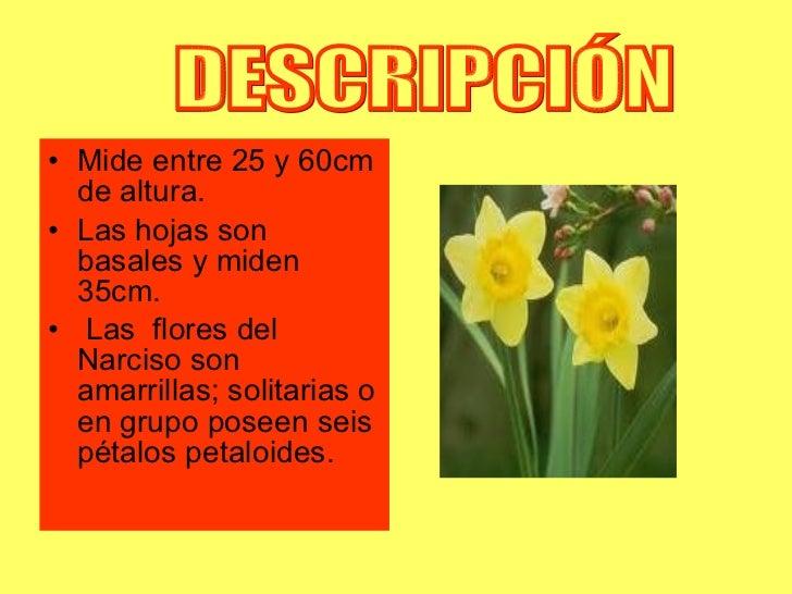 <ul><li>Mide entre 25 y 60cm de altura. </li></ul><ul><li>Las hojas son basales y miden 35cm. </li></ul><ul><li>Las  flore...