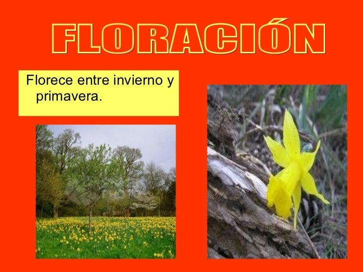 <ul><li>Florece entre invierno y primavera.  </li></ul>FLORACIÓN