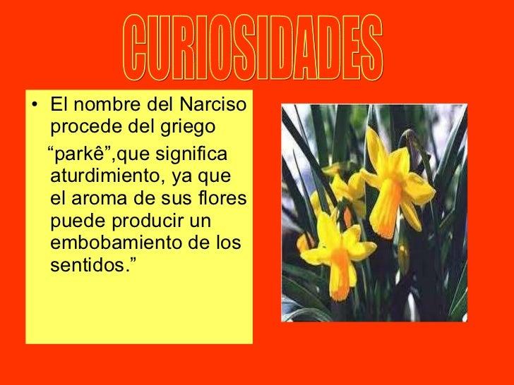 """<ul><li>El nombre del Narciso procede del griego  </li></ul><ul><li>"""" parkê"""",que significa aturdimiento, ya que el aroma d..."""