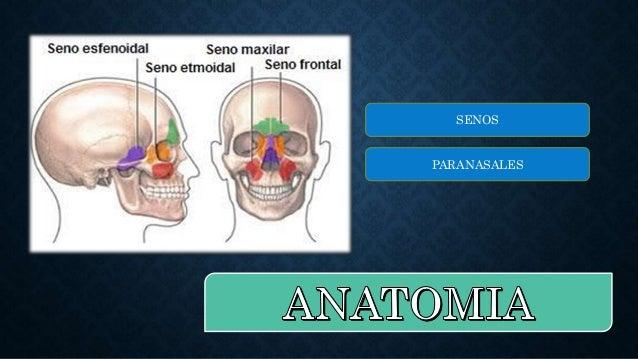 Nariz, cavidad nasal y senos paranasales Slide 2