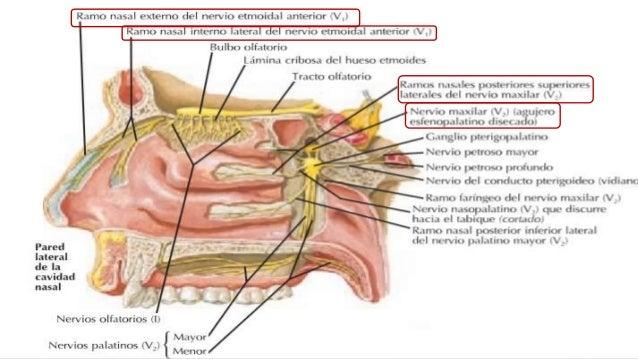Nariz, cavidad nasal y senos paranasales