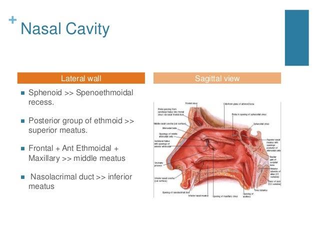Nasal cavity and paranasal sinuses radiologic anatomy Inferior Meatus Drainage